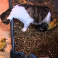 Ducklings With Their Mother Cat!!