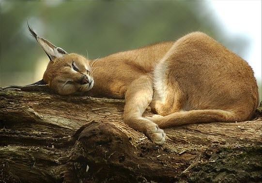 baby caracal lynx