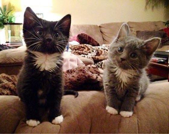 two fluffy kittens sofa