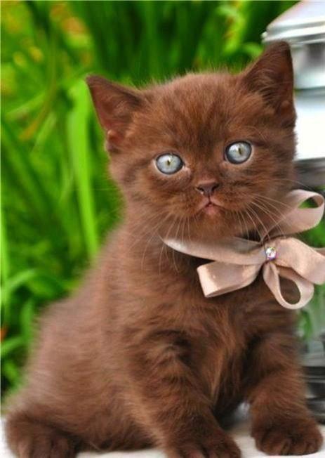 chocolate colour kitty