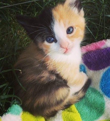cute calico 2