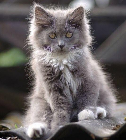 grey fluffy cute