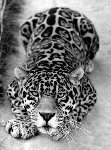 BW leopard