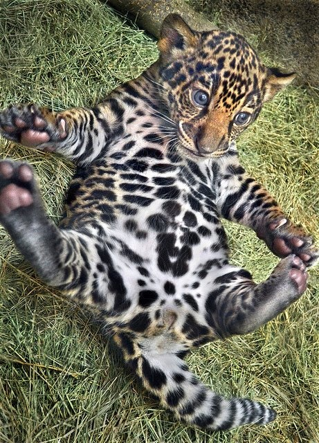 baby leopard 1