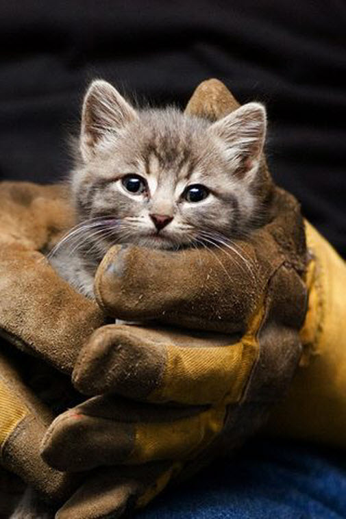 kitten in gloves