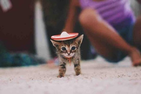 kitten sombrero