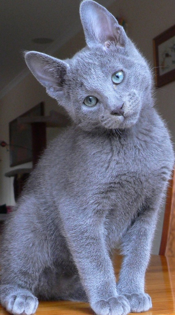 russian blue pic