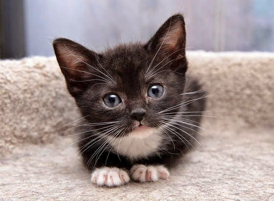 black kitten white paws