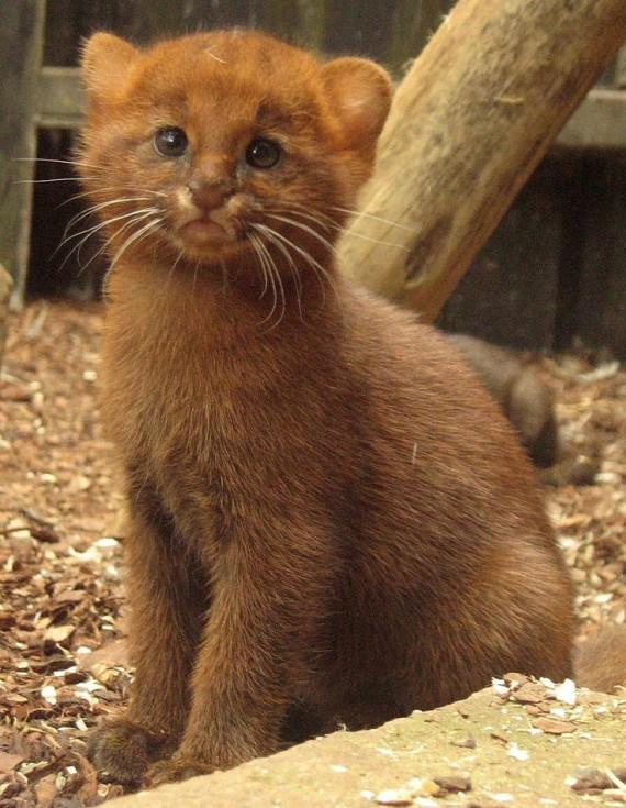jaguarundi kitten