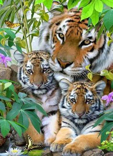 Tiger family by Picturegirl