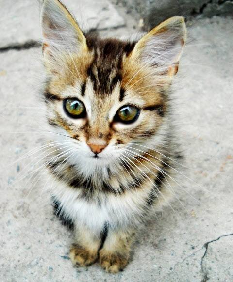 beauty maine coon kitten