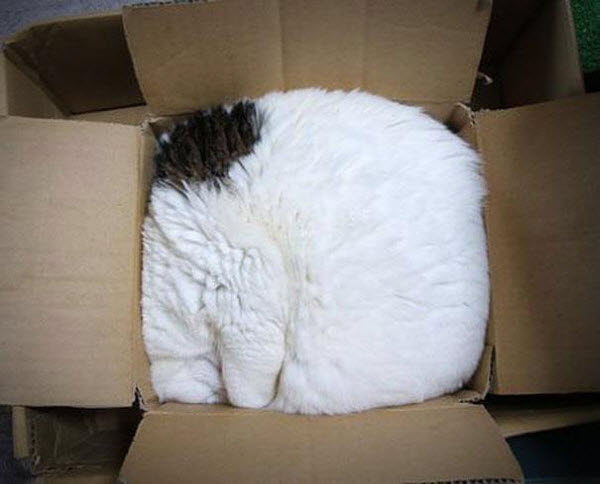 white cat in a too small box
