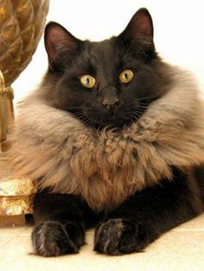 maned cat