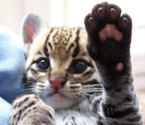 big cat cute 15