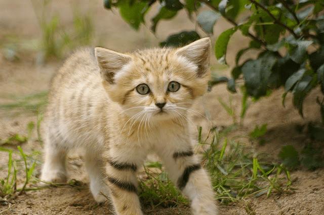 desert sand kitten 1