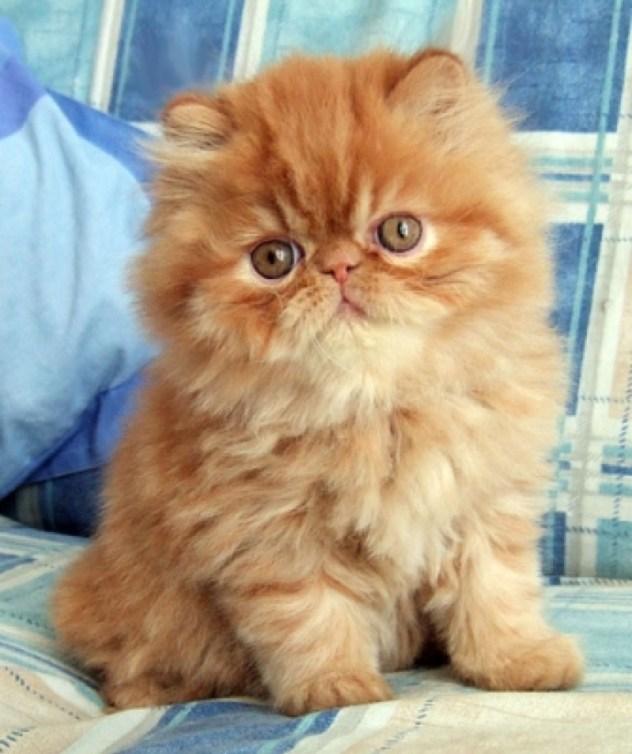 persian-kitten 2