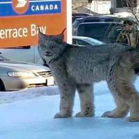 Wild Lynx Meets the Crazy Cat Lady Whisperer !