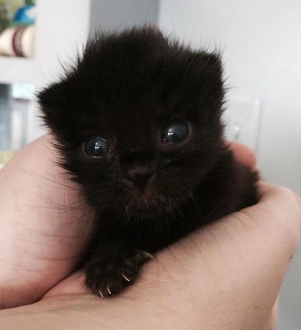 eyes black kitten