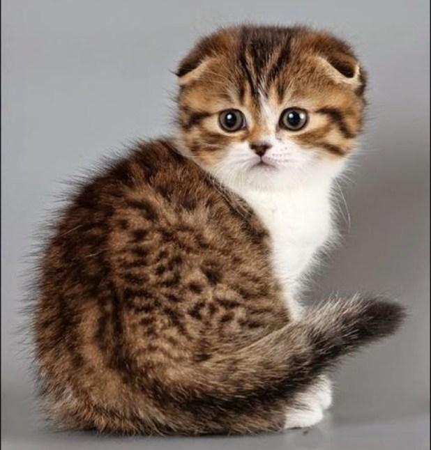 scottish fold kitten copy