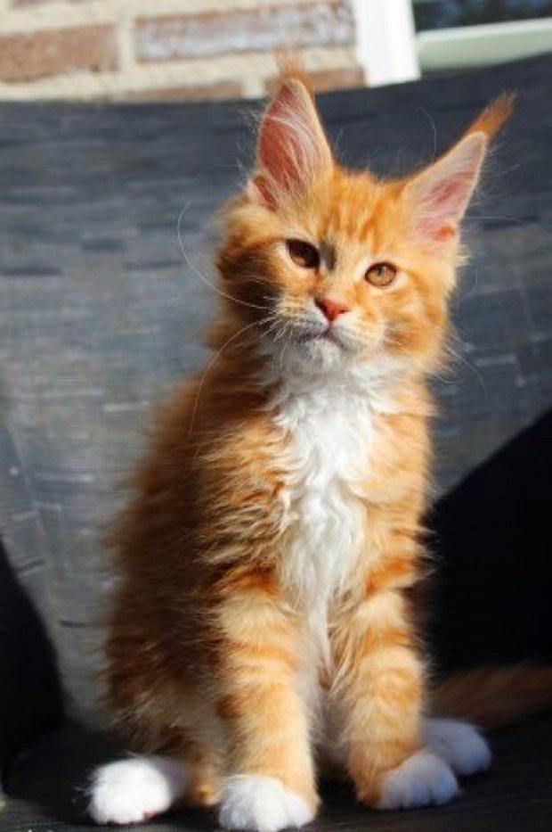 ginger big ears
