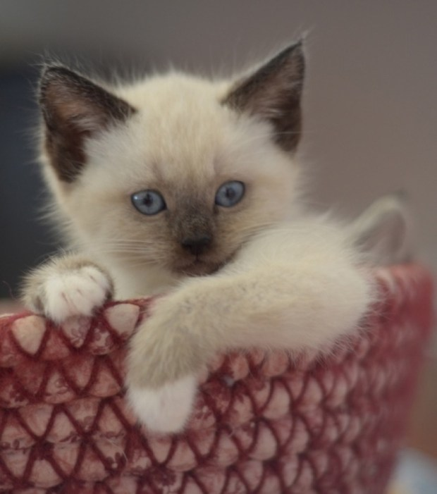 siamese kitten in basket