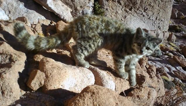 andean cat 1