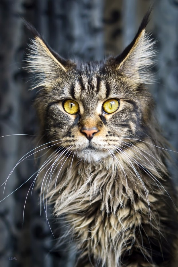fab maine coon copy