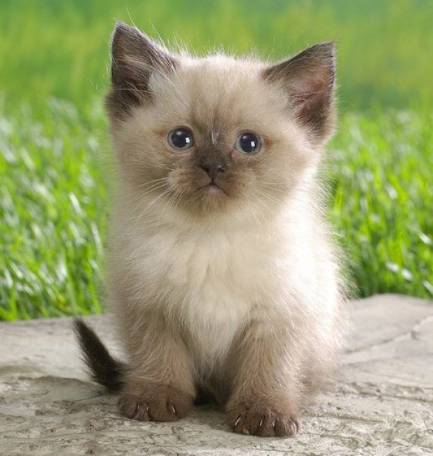 adorable ragdoll kitten