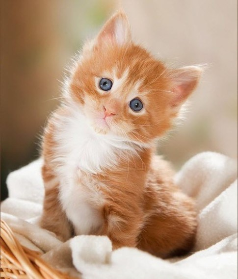 cute ginger kitten 2