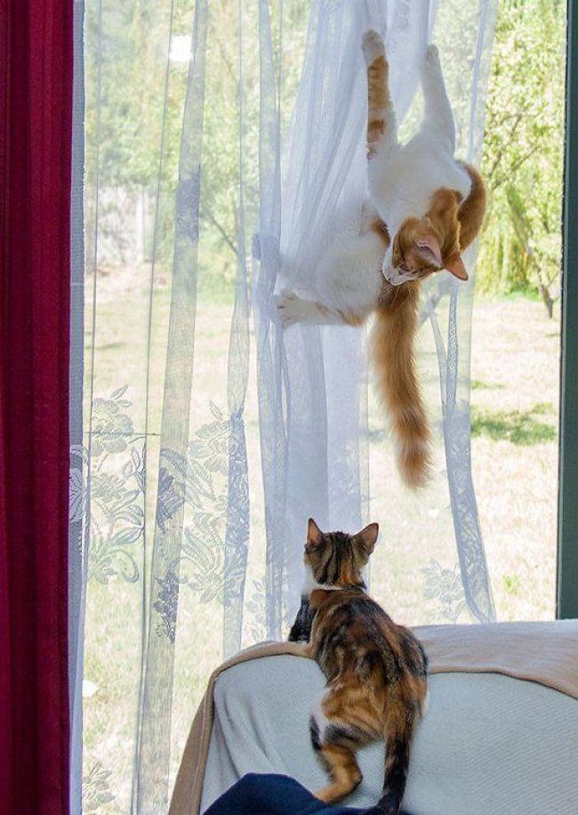 cat on curtains caption