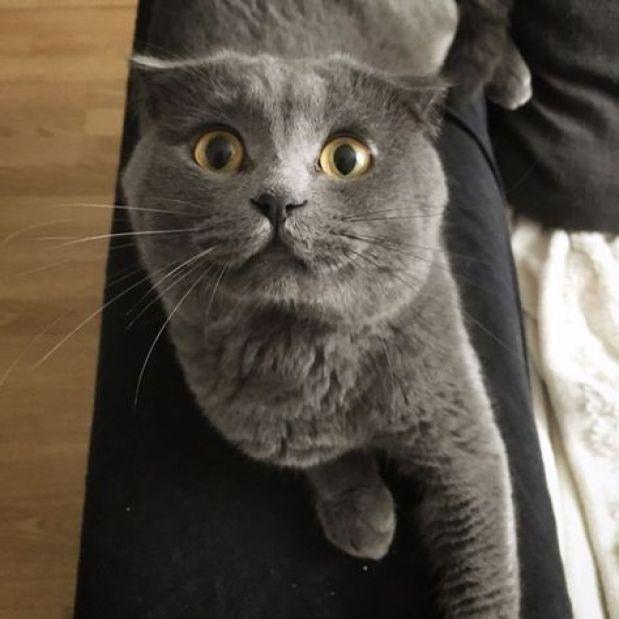 grey catnip