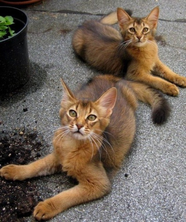 Long-haired abyssinians