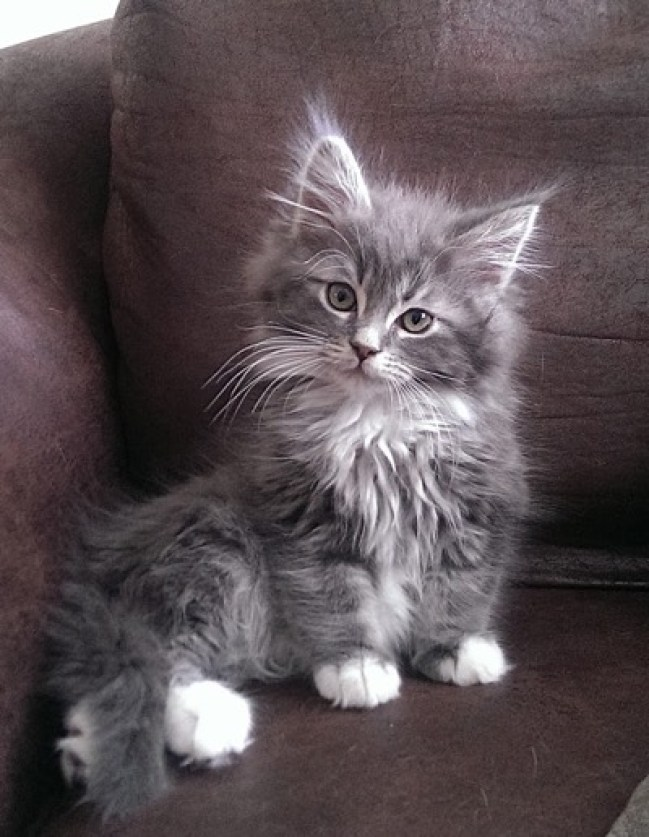 grey and white kitten copy