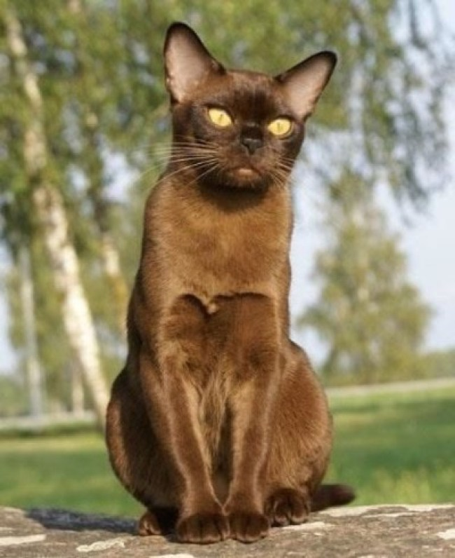 European Chocolate Burmese Cat