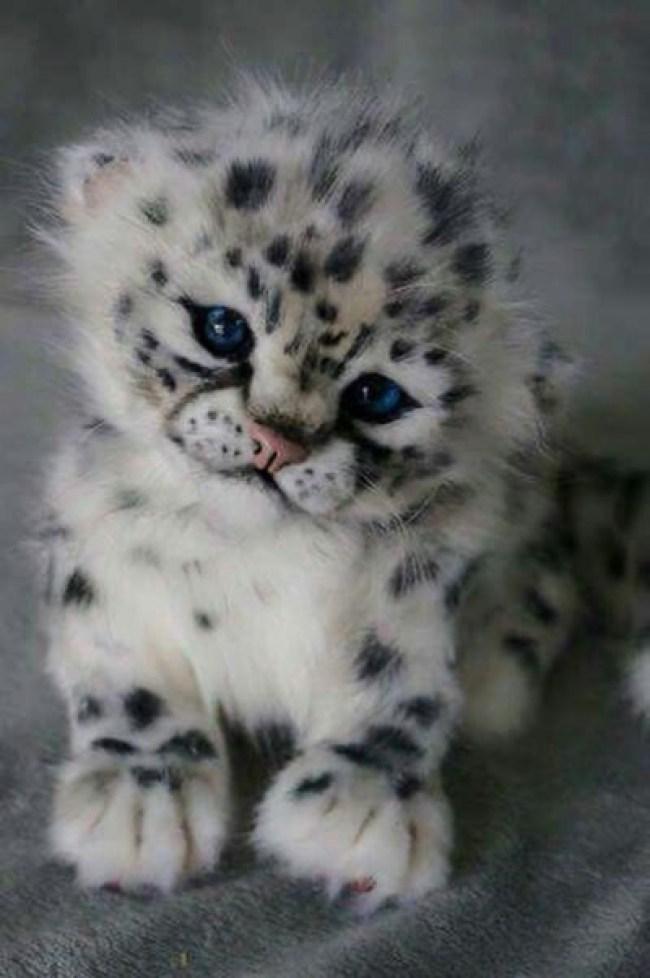 snow leopard cub copy