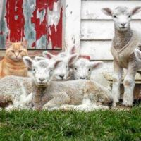 Meet the Cat Who Thinks He's Part Lamb