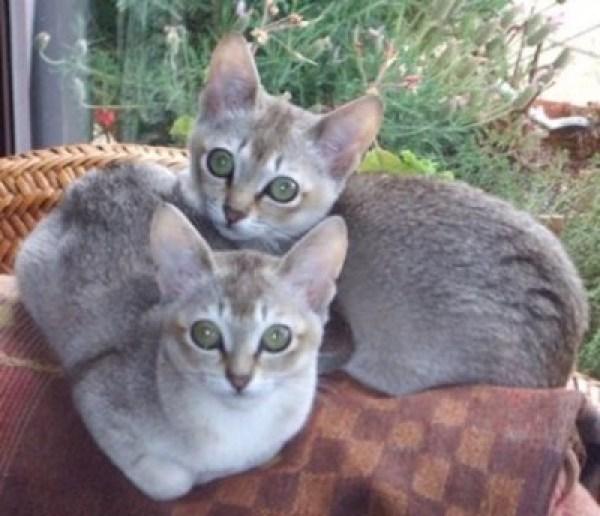 singapura-cat-breed