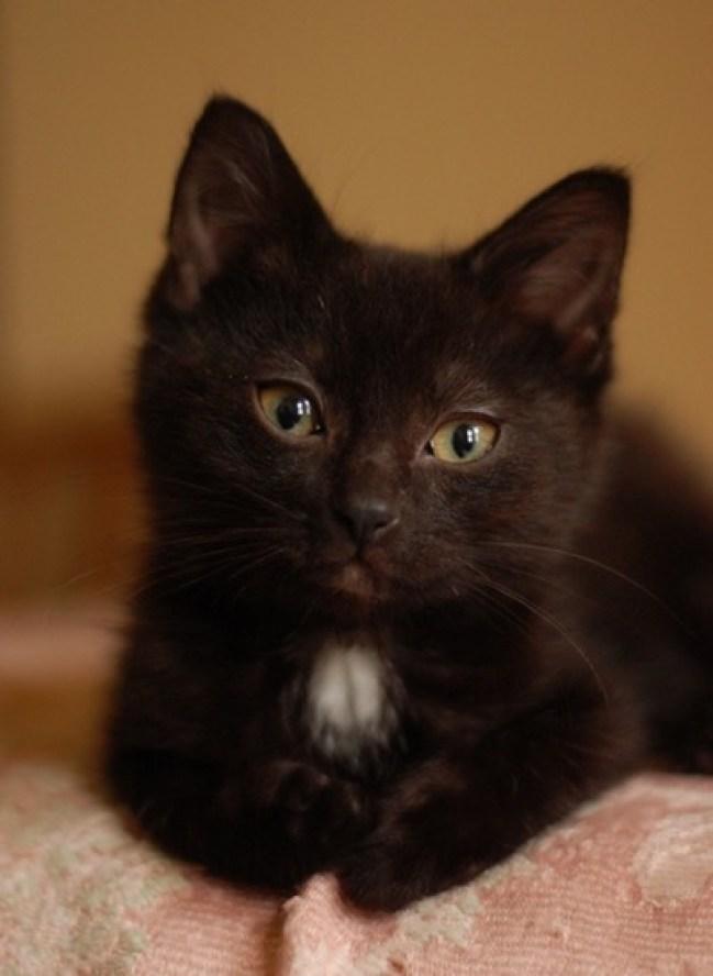 tiny-black-kitten