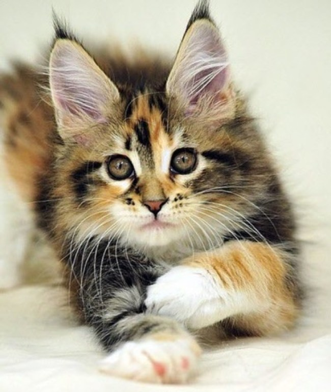 maine coon kitten (2)