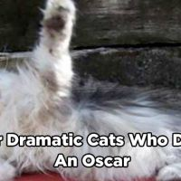 16 Over Dramatic Cats Who Deserve An Oscar