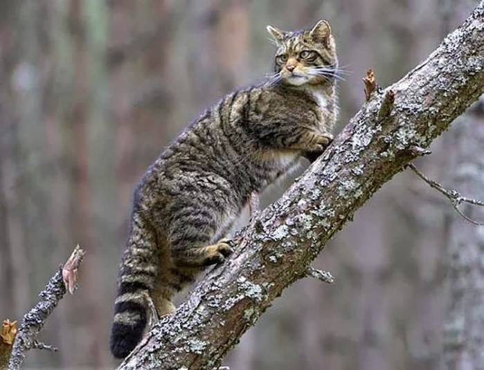 This is a Scottish wildcat
