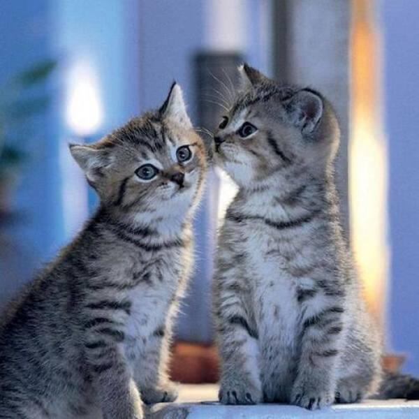Kissing Kitties !