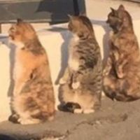 3 Cats Get Caught Pretending To Be Humans, And React In Sychronization