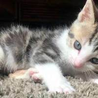 Tiny Kitten Found Barely Breathing Becomes The Ultimate Fighter