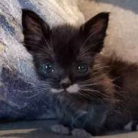 Littlest Kitten Ever Grows Up To Be A Mini Cat