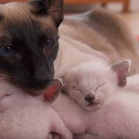 Protective First-Time Mom Looks After Her Curious Siamese Kittens