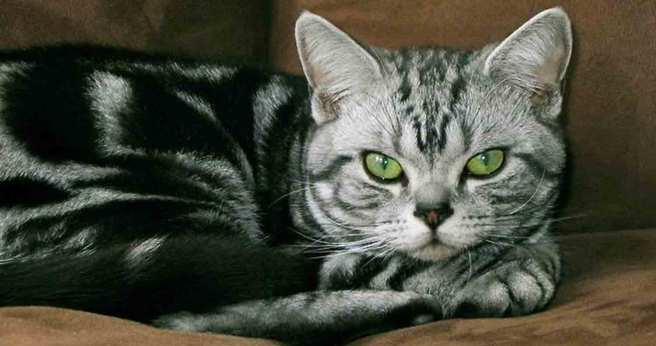 american-shorthair-breed-facts
