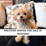 Maltipoo Puppies For Sale In Michigan Top 5 Breeders 2021 We Love Doodles