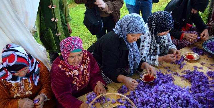 Frauen Safranernte