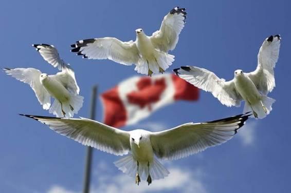 Seemöwen fliegen vor der kanadischen Flagge